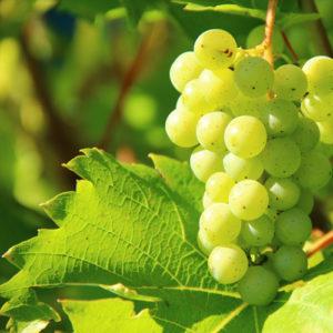raisin-plant-c2